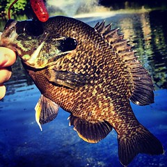 Close up photo of crappie