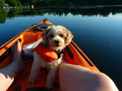 A small dog in a doggy life jacket sitting in the bow of a kayak looks attentively at her owner as he takes a photograph